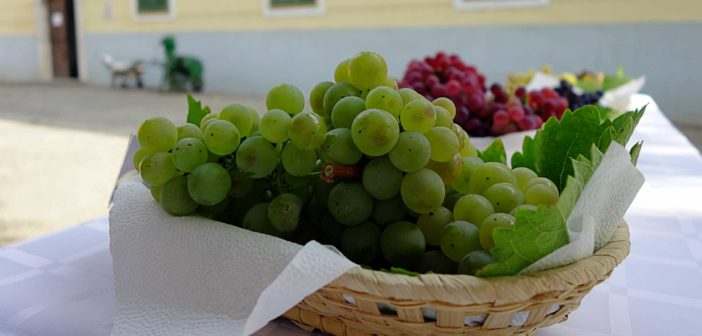 PRE-PHYLLOXERA GRAPES AND FURMINT CLONES ON DISPLAY IN TARCAL